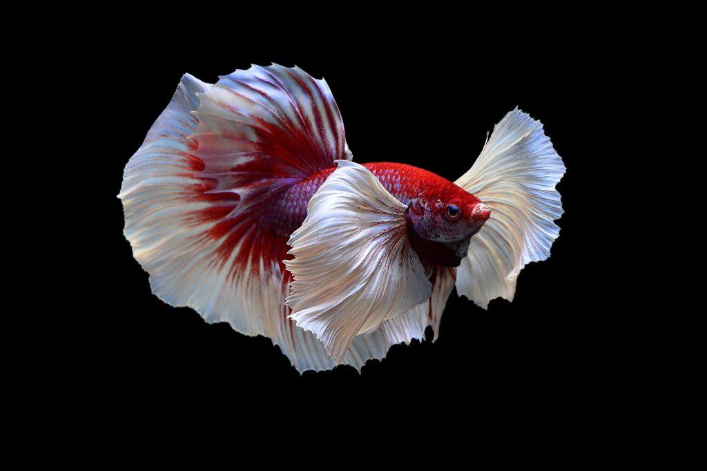 betta dumbo lavender
